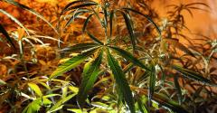 cannabis-David McNew_Getty Images-149251752.jpg
