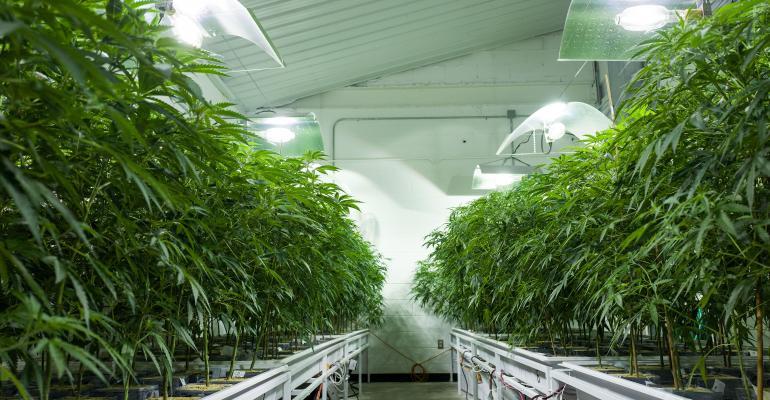 Marijuana grown indoors.